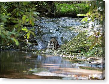 Canvas Print - Raccoon In Stream by Dan Friend
