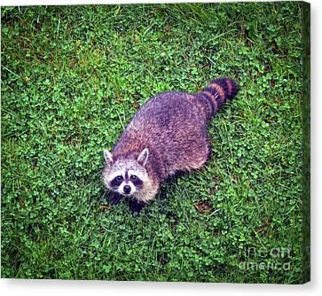 Canvas Print featuring the photograph Raccoon  by Kerri Farley
