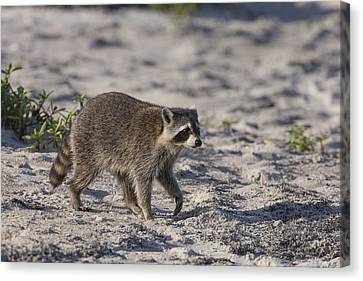 Raccoon On The Beach Canvas Print
