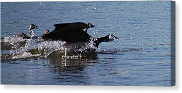 Canvas Print featuring the photograph Racing Geese by Sumoflam Photography