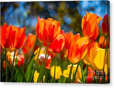 Radiant Tulips Canvas Print by Inge Johnsson