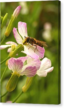 Radish Flower And The Fly Canvas Print by Steve Augustin