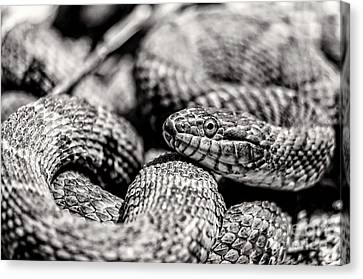 Radnor Lake Northern Water Snake Black And White Canvas Print