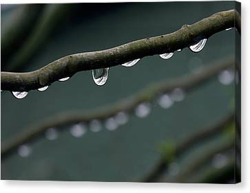 Rain Branch Canvas Print by Photography by Gordana Adamovic Mladenovic