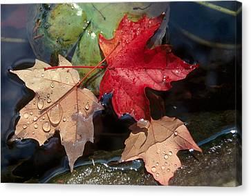 Rain Drops On Leaves Canvas Print by Raju Alagawadi