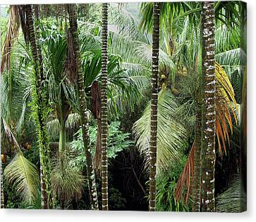Rain Forest Palau Canvas Print by Thomas Walsh
