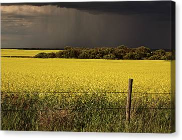 Rain Front Approaching Saskatchewan Canola Crop Canvas Print by Mark Duffy