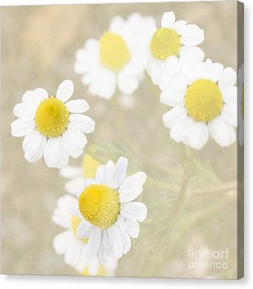 Rain-kissed Chamomile Canvas Print by Cindy Garber Iverson