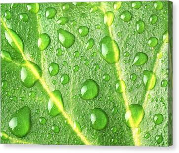 Rain On A Leaf Canvas Print by Jim Hughes