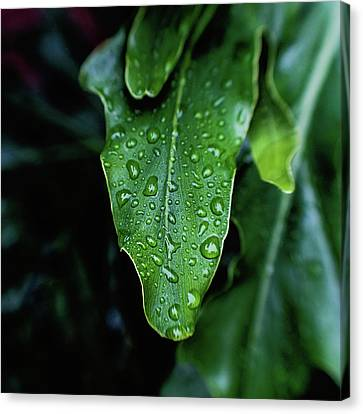 Rain On The Philodendron Canvas Print by Scott Pellegrin