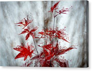 Rain On The Red Maple Leaves Canvas Print