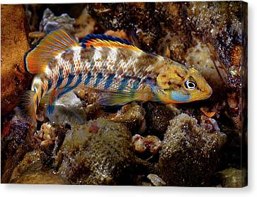 Rainbow Darter Canvas Print