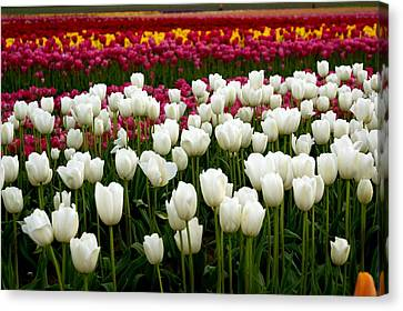 Rainbow Of Tulips Canvas Print by Sonja Anderson