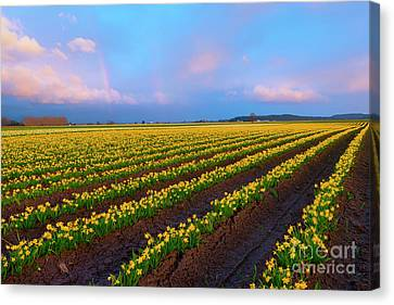 Rainbows, Daffodils And Sunset Canvas Print by Mike Dawson