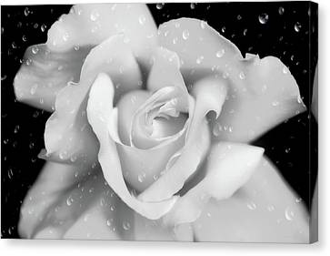 Canvas Print featuring the photograph Raindrops On Rose Black And White by Jennie Marie Schell