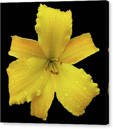 Raindrops On A Yellow Daylily Canvas Print by Tara Hutton
