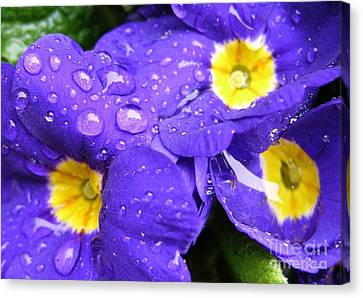 Raindrops On Blue Flowers Canvas Print by Carol Groenen