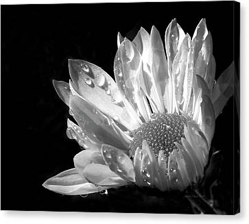 Raindrops On Daisy Black And White Canvas Print by Jennie Marie Schell