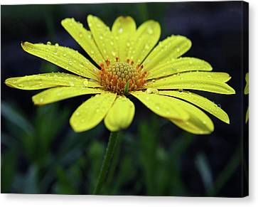 Canvas Print featuring the photograph Raindrops On Daisy by Judy Vincent