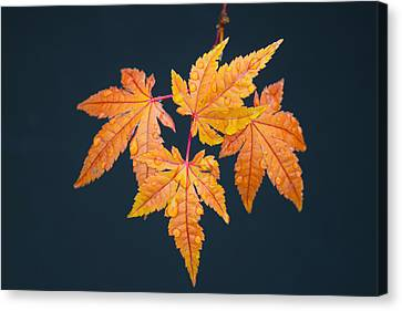 Raindrops On Japanese Maple Leaves Canvas Print by Frank Wilson