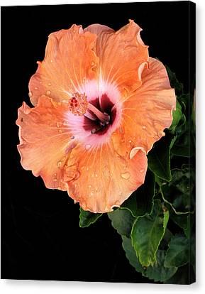 Raindrops On Orange Hibiscus Canvas Print by David and Carol Kelly