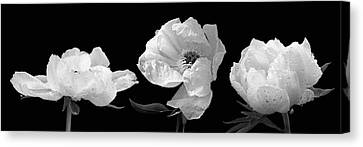 Raindrops On Peonies Black And White Panoramic Canvas Print by Gill Billington