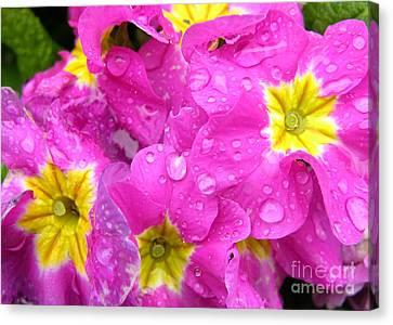 Pink Primroses Canvas Print - Raindrops On Pink Flowers 2 by Carol Groenen