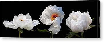 Raindrops On White Peonies Panoramic Canvas Print by Gill Billington