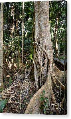 Canvas Print featuring the photograph Rainforest Majesty by Linda Lees