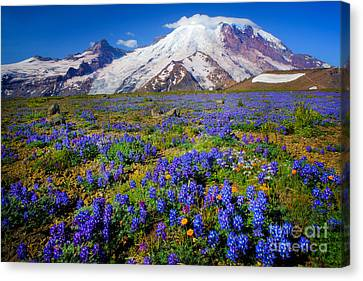 Rainier Lupines Canvas Print by Inge Johnsson