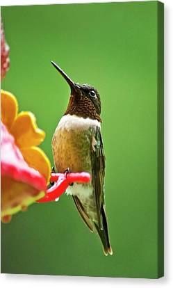 Rainy Day Hummingbird Canvas Print by Christina Rollo
