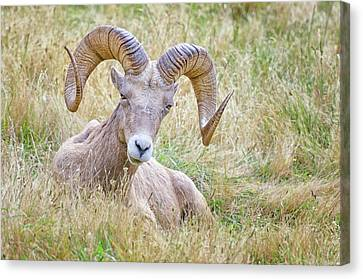 Ram In Field Canvas Print