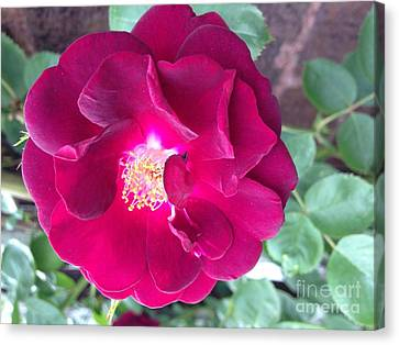 Rambling Rose Canvas Print