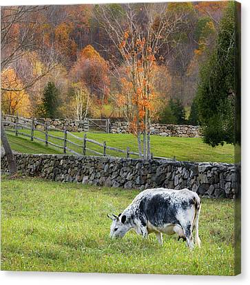 Randall Cattle Cow Square Canvas Print