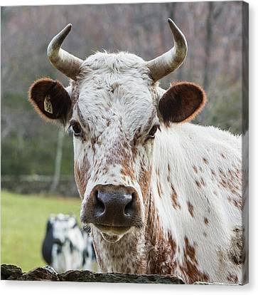 Canvas Print featuring the photograph Randall Cow by Bill Wakeley