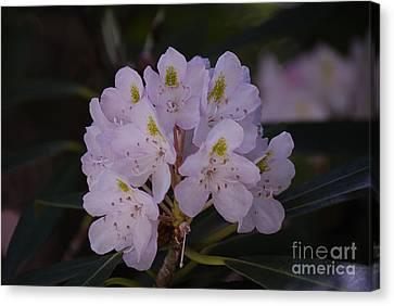 Randolph County Rhododendron Canvas Print