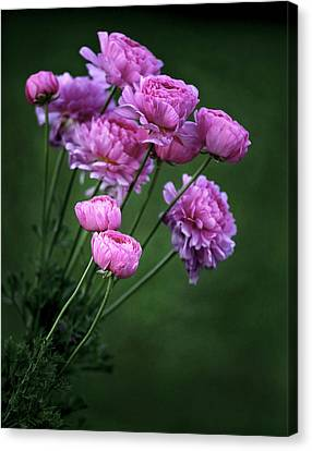 Ranunculus Canvas Print by James Steele
