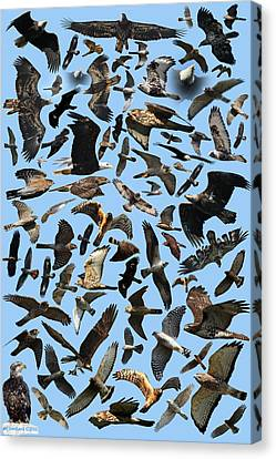 Raptor Roundup Canvas Print by ML Lombard