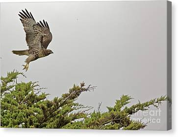 Canvas Print - Raptor Take Off 2 by Natural Focal Point Photography
