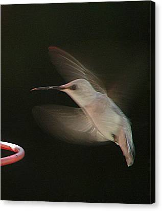 Rare White Hummer In Flight Canvas Print by Rick Friedle