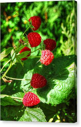 Canvas Print featuring the photograph Raspberries by Pennie  McCracken