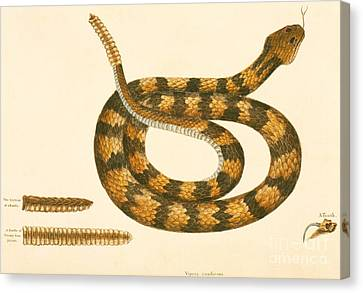 Creature Canvas Print - Rattlesnake by Mark Catesby