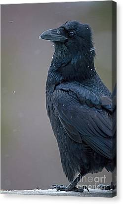 Raven In Snow Canvas Print by Tim Grams