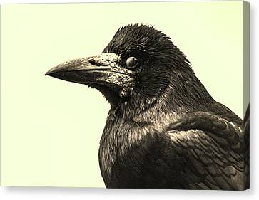 Raven Canvas Print by Martin Newman