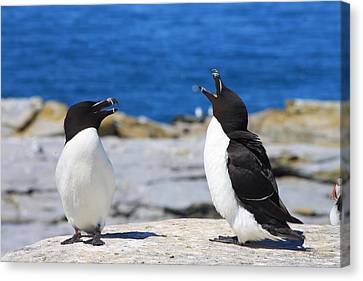 Razorbills Calling On Island Canvas Print by John Burk