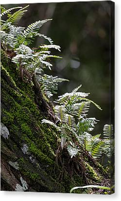 Reach For The Light Canvas Print by Christopher L Thomley