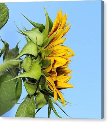 Reaching Sunflower Canvas Print