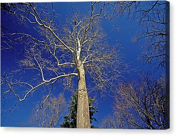 Canvas Print featuring the photograph Reaching For The Sky by Suzanne Stout