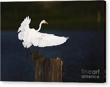 Ready To Roost Canvas Print by Cecil Fuselier