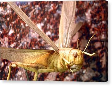 Ready To Swarm Canvas Print by Jez C Self
